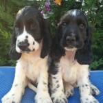 Cuccioli di cocker bianchi e neri a 60 giorni