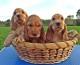 Fasi di sviluppo del cucciolo e imprinting