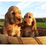 Cuccioli di cocker spaniel inglese fulvi maschio e femmina (da sx a dx)  a 60 giorni