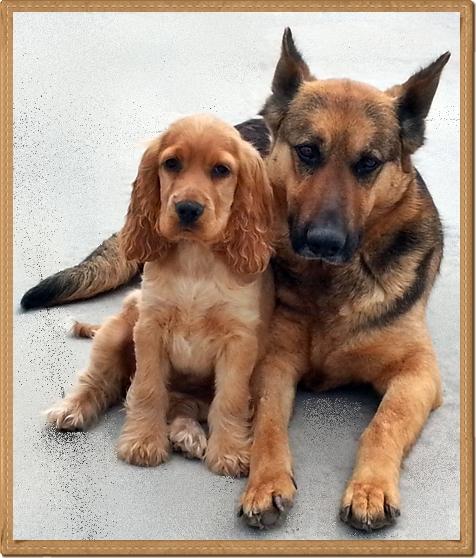 La socializzazione del cucciolo di cocker spaniel inglese… e non solo