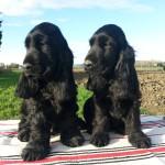 Cuccioli di cocker spaniel inglese neri