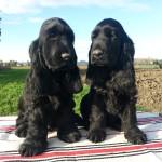 Cuccioli di cocker spaniel inglese neri a 90 giorni