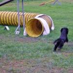 Cocker Spaniel Inglese nero focato maschio in agility dog (tunnel)