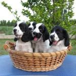 Cuccioli di cocker spaniel inglese bianchi e neri a 60 giorni