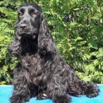Cocker Spaniel Inglese femmina nero adulto MISSY
