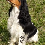 Cocker Spaniel Inglese femmina QUEEN