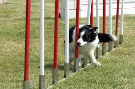 Educazione, Addestramento e Impostazione per Agility Dog