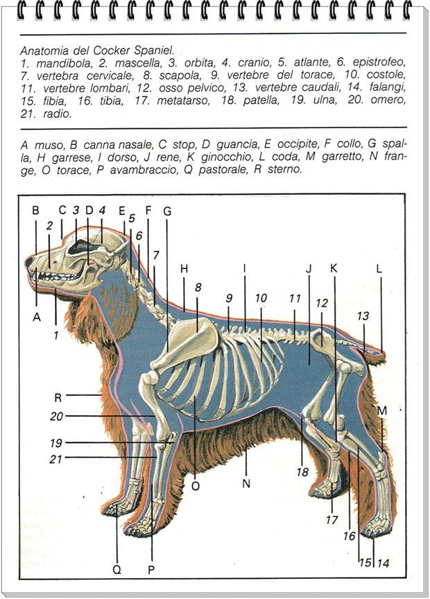 anatomia-del-cocker-spaniel