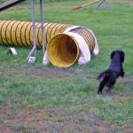 Agility Dog - Cocker Spaniel Inglese Maschio Asso