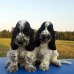Cuccioli di cocker spaniel inglese blu roani