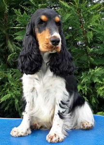 Cocker Spaniel Inglese QUEEN