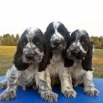 Cuccioli di cocker spaniel inglese blu roani a 70 giorni